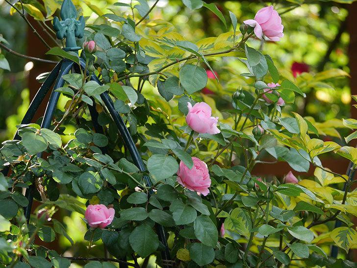 ジュビレ・アンペリアル(半ツルバラ)の花が増えてきた。2020年-1.jpg