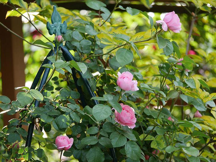 ジュビレ・アンペリアル(半ツルバラ)の花が増えてきた。2020年-2.jpg