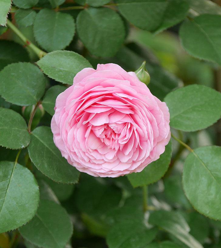 ジュビレ・アンペリアル(半ツルバラ)の花が増えてきた。2020年-3.jpg