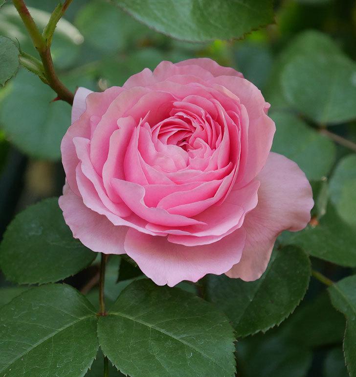 ジュビレ・アンペリアル(半ツルバラ)の花が増えてきた。2020年-4.jpg