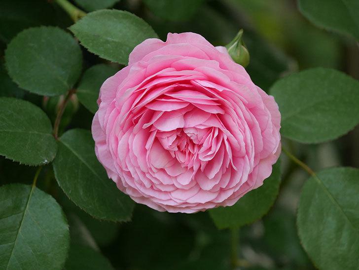 ジュビレ・アンペリアル(半ツルバラ)の花が増えてきた。2020年-5.jpg