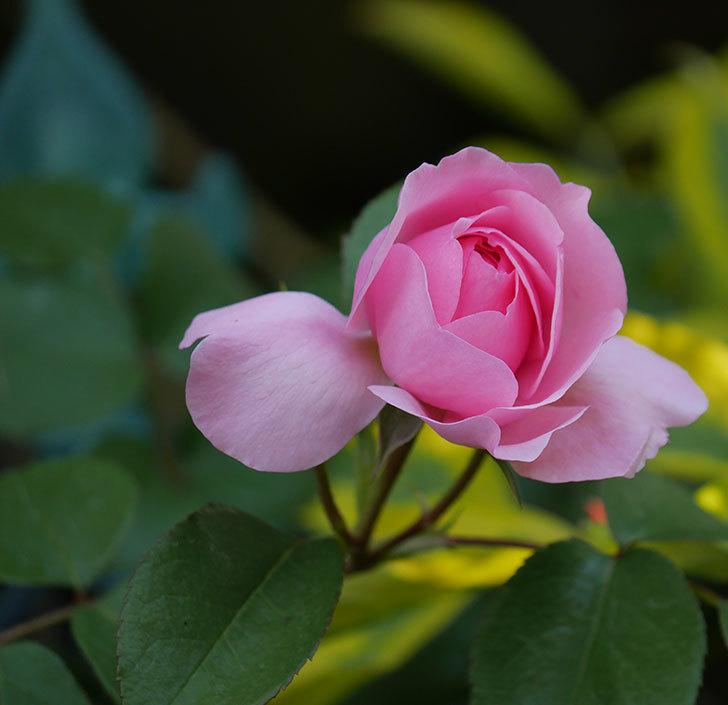 ジュビレ・アンペリアル(半ツルバラ)の花が増えてきた。2020年-6.jpg