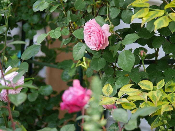 ジュビレ・アンペリアル(半ツルバラ)の花が増えてきた。2020年-7.jpg