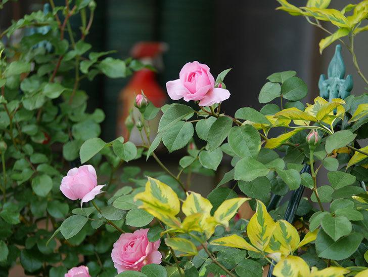 ジュビレ・アンペリアル(半ツルバラ)の花が増えてきた。2020年-8.jpg