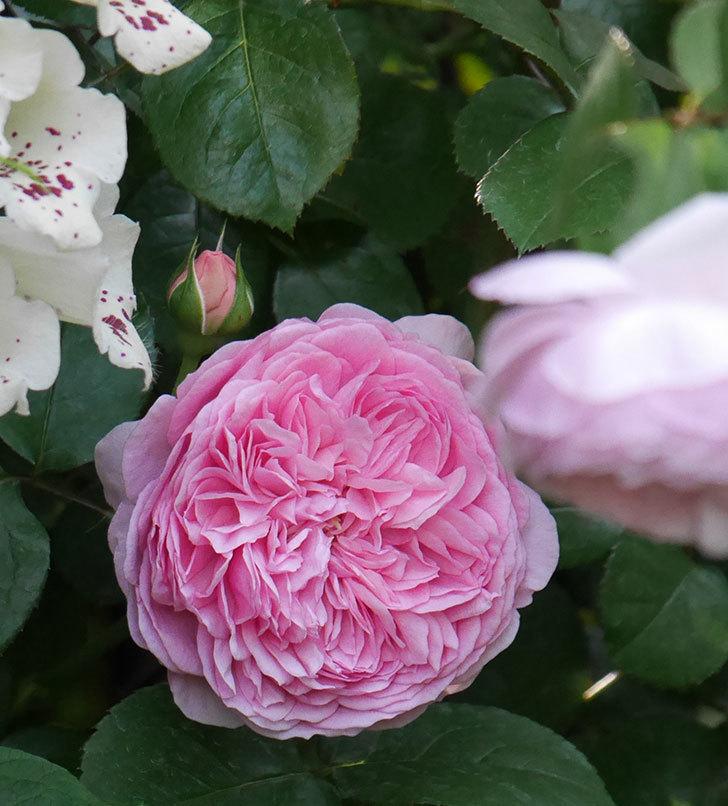 ジュビレ・アンペリアル(半ツルバラ)の花が増えてきた。2020年-9.jpg