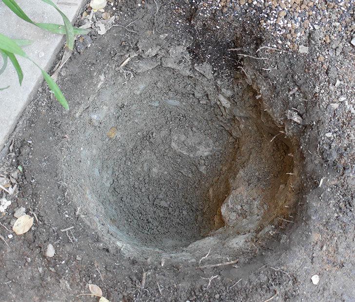 ジュビレ・アンペリアル(半ツルバラ)を地植えにした。2019年-3.jpg