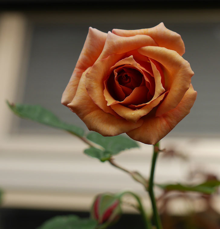 ジュリア(木立バラ)に濃いオレンジの花が咲いた。2018年。-1.jpg