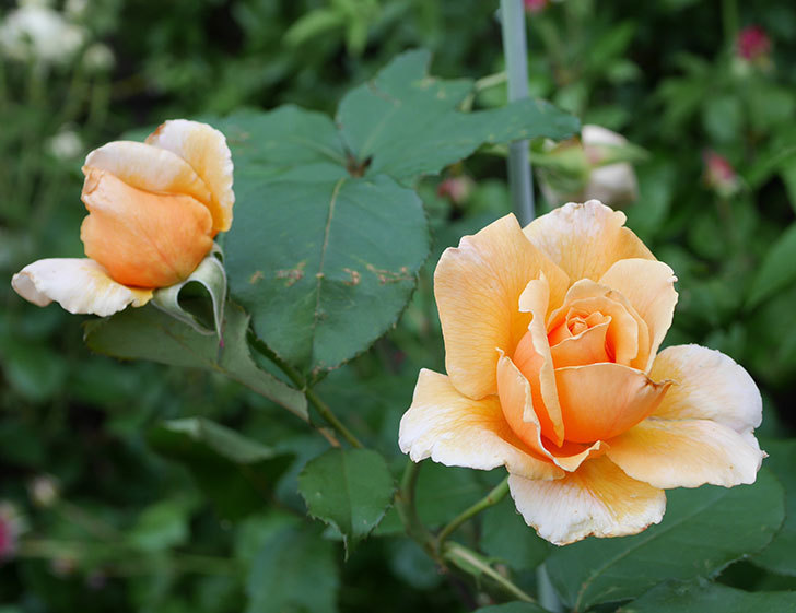 ジュリア(木立バラ)の2番花がまた咲いた。2019年-1.jpg