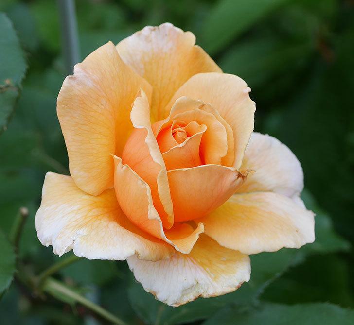 ジュリア(木立バラ)の2番花がまた咲いた。2019年-2.jpg