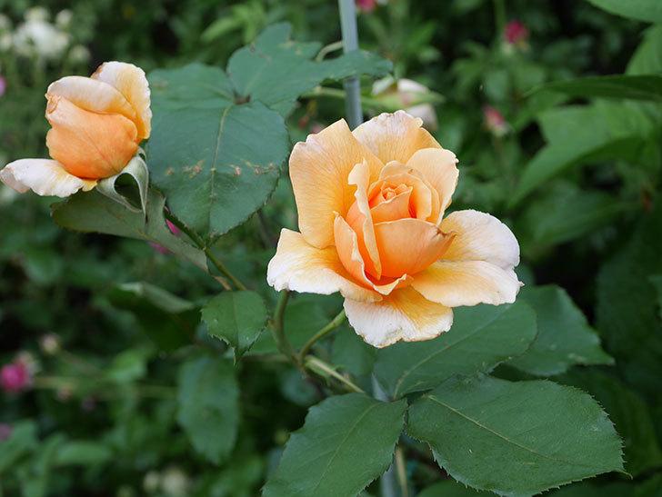 ジュリア(木立バラ)の2番花がまた咲いた。2019年-4.jpg