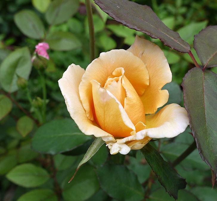 ジュリア(木立バラ)の2番花が咲いた。2017年-1.jpg