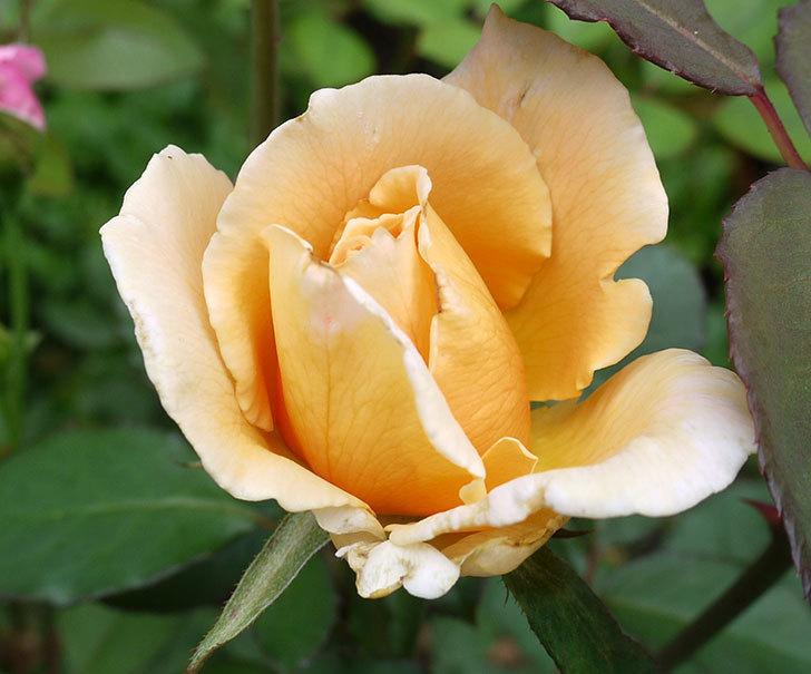 ジュリア(木立バラ)の2番花が咲いた。2017年-2.jpg