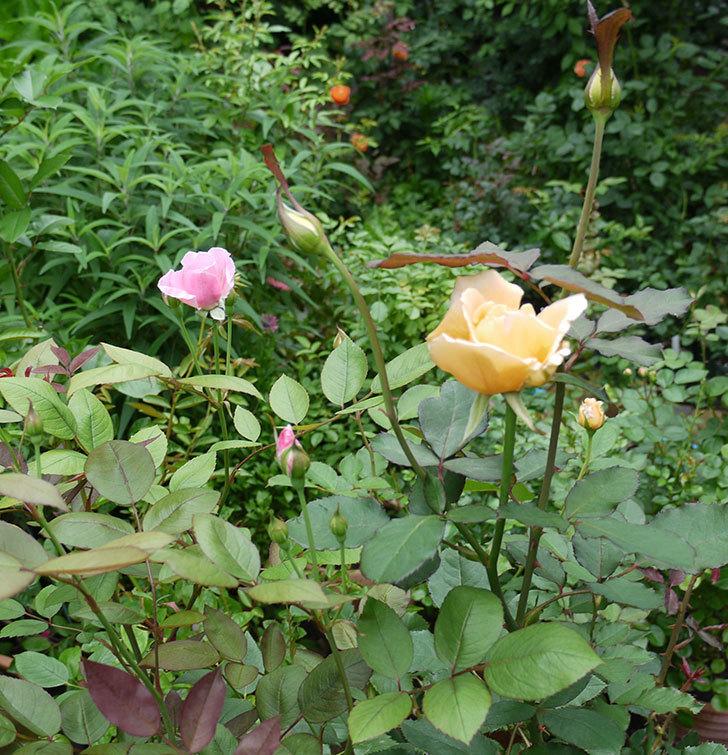 ジュリア(木立バラ)の2番花が咲いた。2017年-3.jpg