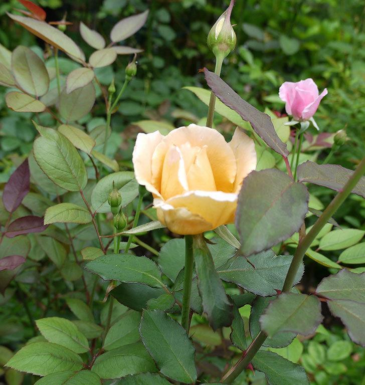 ジュリア(木立バラ)の2番花が咲いた。2017年-4.jpg