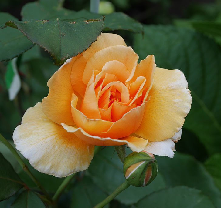 ジュリア(木立バラ)の2番花が咲いた。2019年-1.jpg