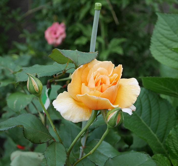 ジュリア(木立バラ)の2番花が咲いた。2019年-2.jpg