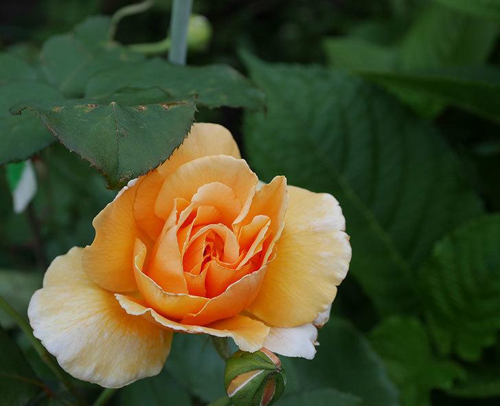 ジュリア(木立バラ)の2番花が咲いた。2019年-3.jpg
