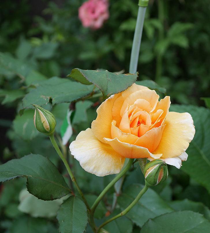 ジュリア(木立バラ)の2番花が咲いた。2019年-4.jpg