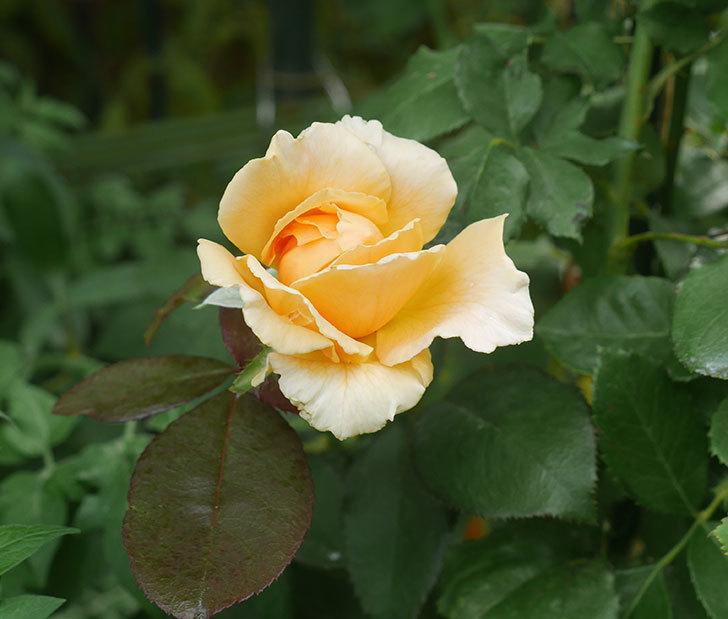 ジュリア(木立バラ)の夏花が咲いた。2019年-1.jpg
