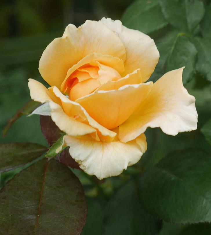 ジュリア(木立バラ)の夏花が咲いた。2019年-2.jpg