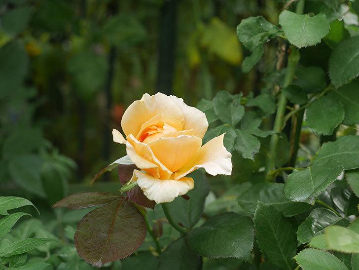 ジュリア(木立バラ)の夏花が咲いた。2019年-3.jpg
