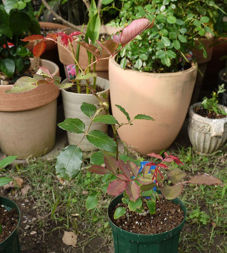 ジュリア(木立バラ)の新苗を5号ロングスリット鉢に植えた。2016年-1.jpg