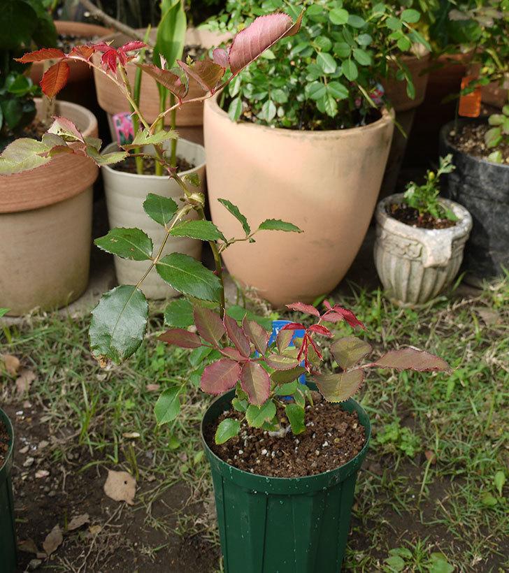 ジュリア(木立バラ)の新苗を5号ロングスリット鉢に植えた。2016年-5.jpg