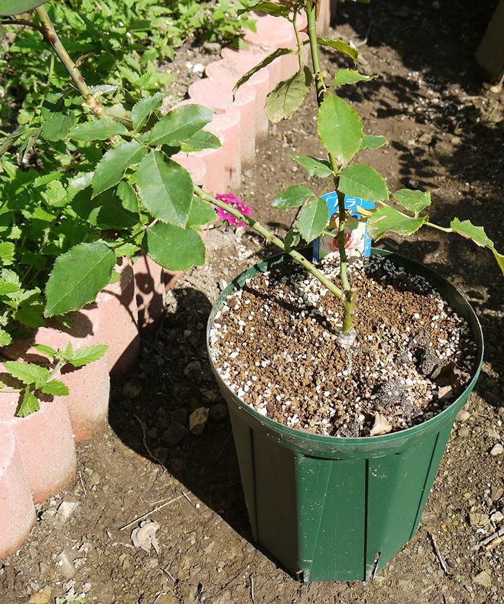 ジュリア(木立バラ)の新苗を7号ロングスリット鉢に鉢増しした。2016年-1.jpg