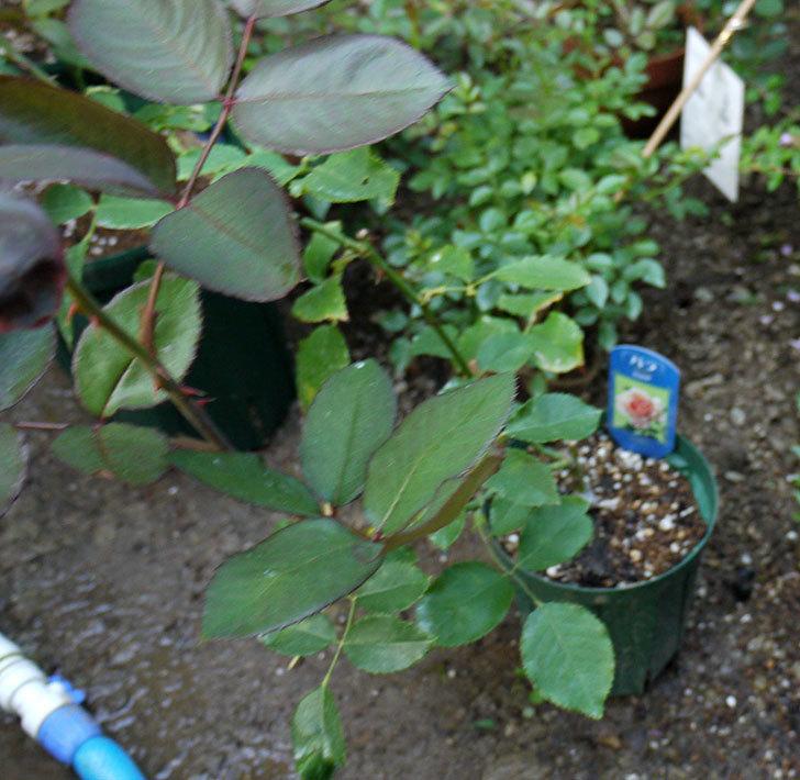 ジュリア(木立バラ)の新苗を7号ロングスリット鉢に鉢増しした。2016年-2.jpg