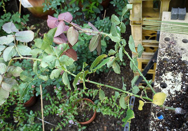 ジュリア(木立バラ)の新苗を7号ロングスリット鉢に鉢増しした。2016年-3.jpg