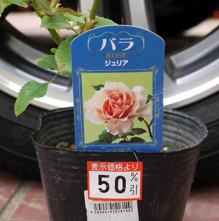 ジュリア(木立バラ)の新苗買って来た。2016年-4.jpg