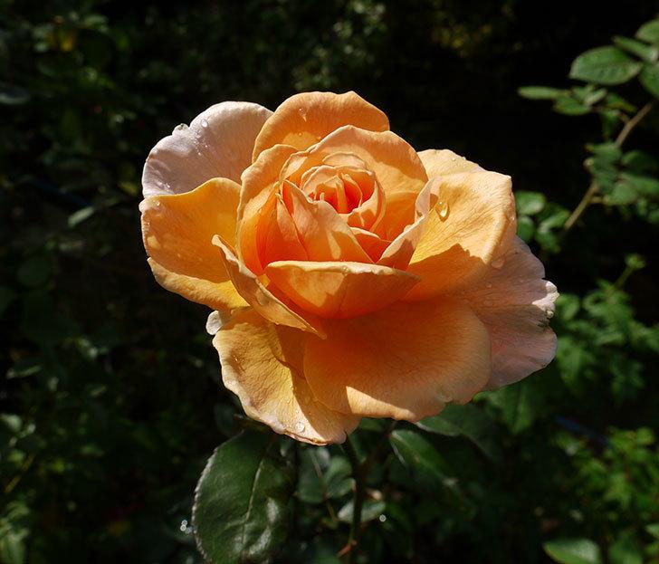 ジュリア(木立バラ)の秋花が咲いた。2016年-1.jpg