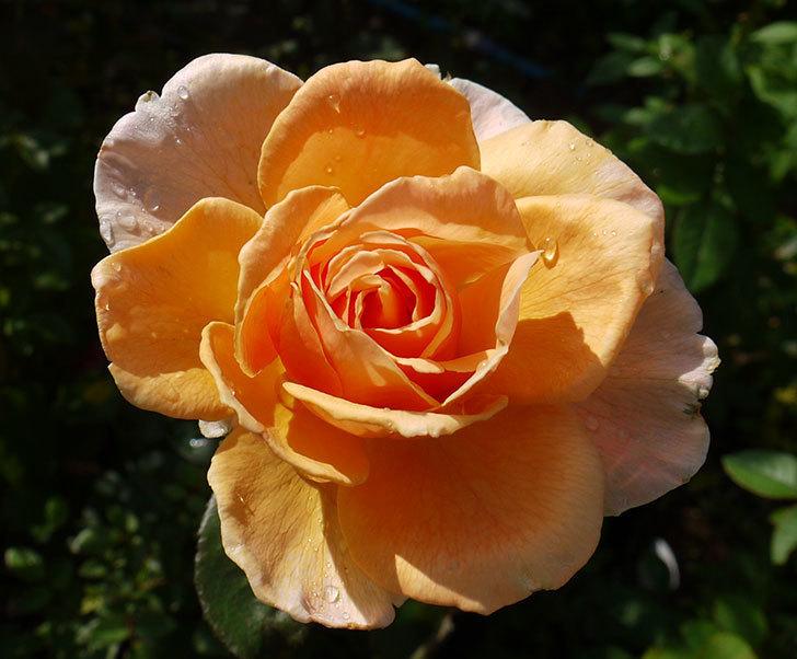 ジュリア(木立バラ)の秋花が咲いた。2016年-2.jpg