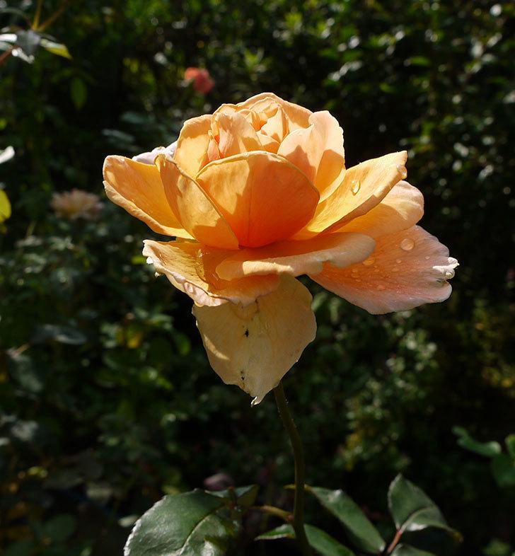 ジュリア(木立バラ)の秋花が咲いた。2016年-3.jpg