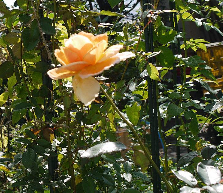 ジュリア(木立バラ)の秋花が咲いた。2016年-4.jpg