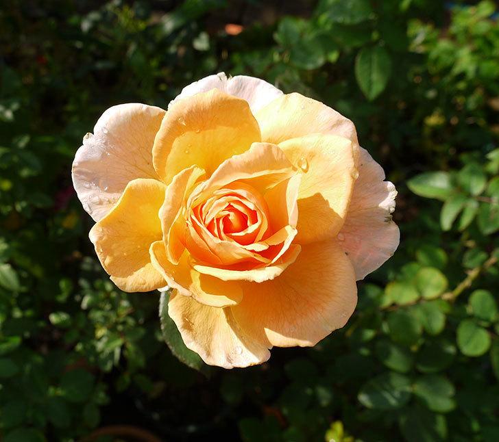 ジュリア(木立バラ)の秋花が咲いた。2016年-5.jpg