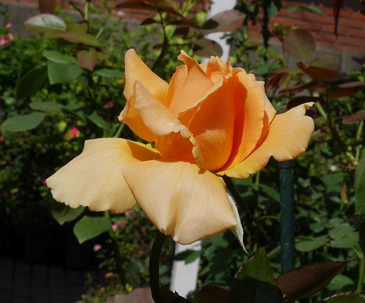 ジュリア(木立バラ)の秋花が咲いた。2018年-5.jpg