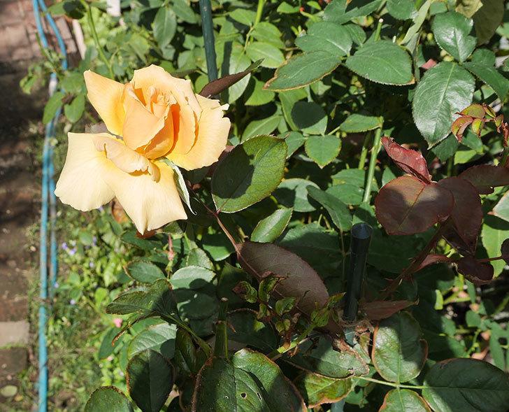 ジュリア(木立バラ)の秋花が咲いた。2018年-6.jpg