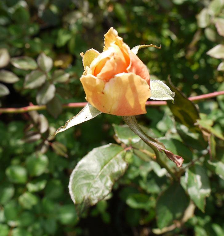 ジュリア(木立バラ)の秋花が咲き始めた。2016年-1.jpg