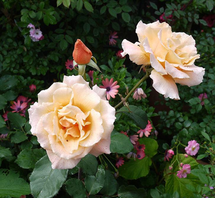 ジュリア(木立バラ)の花が2個咲いた。2017年-1.jpg