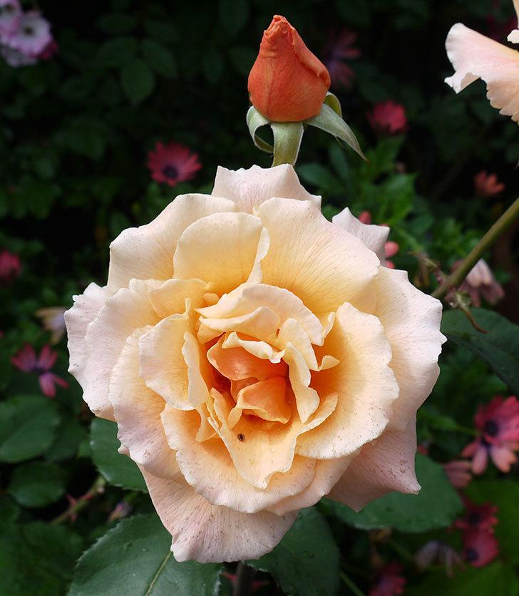 ジュリア(木立バラ)の花が2個咲いた。2017年-2.jpg