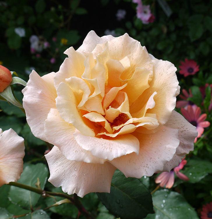 ジュリア(木立バラ)の花が2個咲いた。2017年-3.jpg