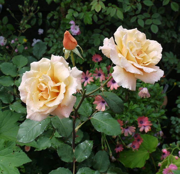 ジュリア(木立バラ)の花が2個咲いた。2017年-4.jpg