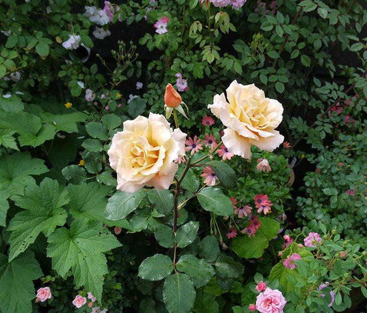 ジュリア(木立バラ)の花が2個咲いた。2017年-5.jpg
