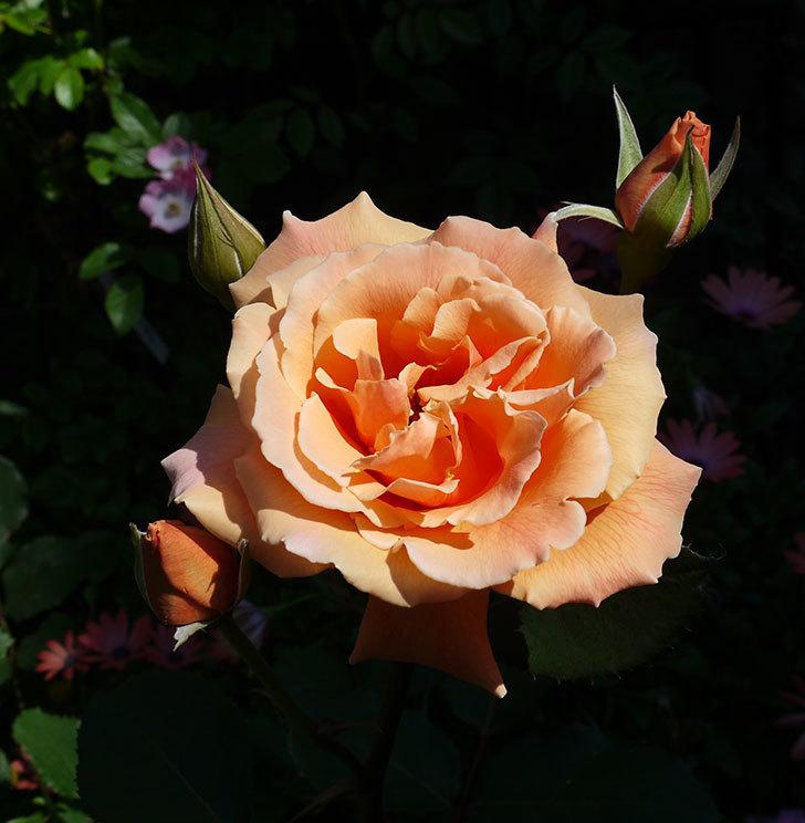 ジュリア(木立バラ)の花がまた咲いた。2017年-1.jpg