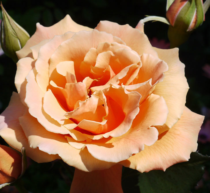 ジュリア(木立バラ)の花がまた咲いた。2017年-2.jpg
