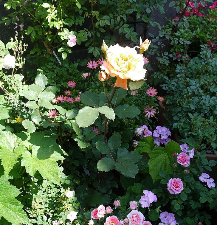 ジュリア(木立バラ)の花がまた咲いた。2017年-3.jpg