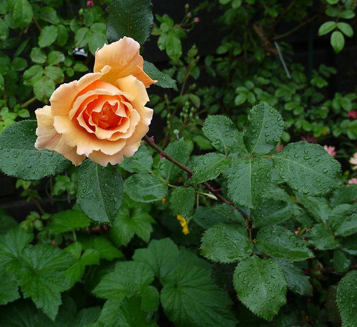 ジュリア(木立バラ)の花が咲いた。2017年-2.jpg