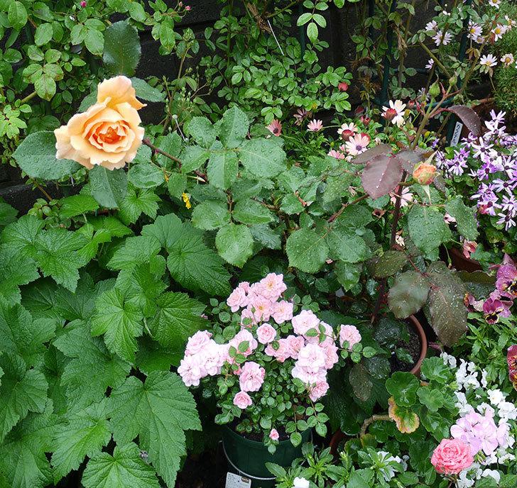 ジュリア(木立バラ)の花が咲いた。2017年-4.jpg