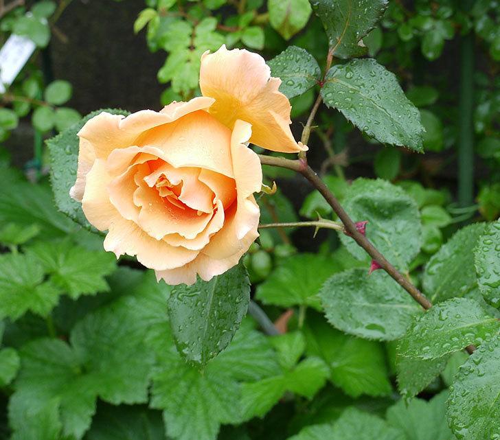 ジュリア(木立バラ)の花が咲いた。2017年-6.jpg